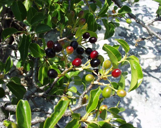 Photographie du cerisier de Sainte-Lucie