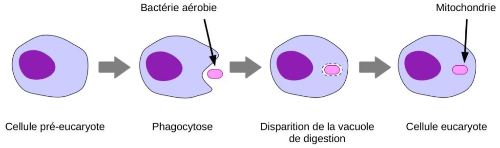 Principe de l'endo-symbiose et acquisition des mitochondries.