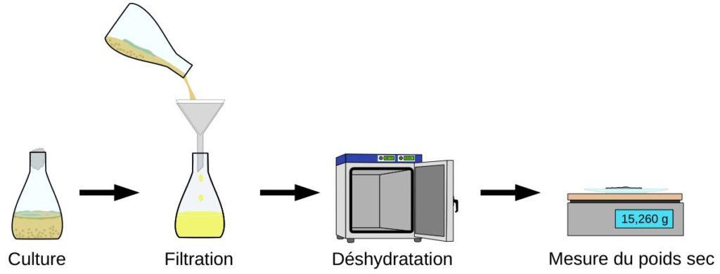 Protocole de mesure de la biomasse produite avec le milieu de culture à base de pastèque. Les mycètes sont récupérés après culture puis déshydratés avant d'être pesés.